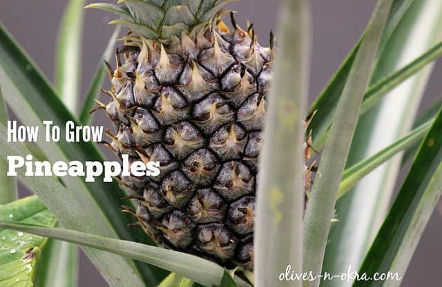 How-to-Grow-Pineapples-Poster