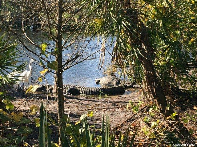 Non-Disney Things to Do In Orlando: Visit Gatorland!
