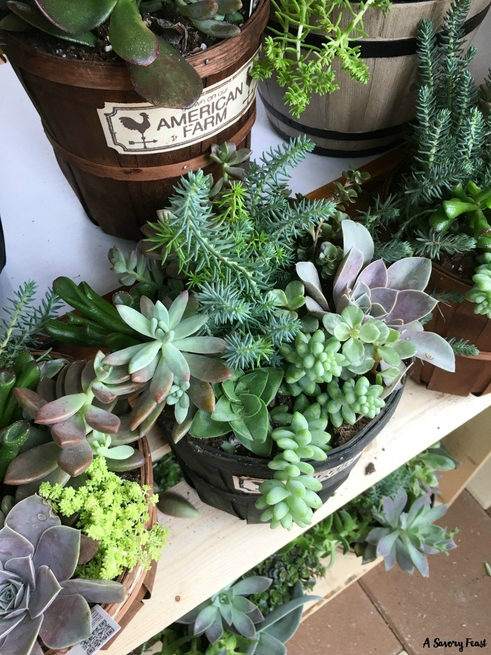 Succulents at Sprouts in South Sarasota